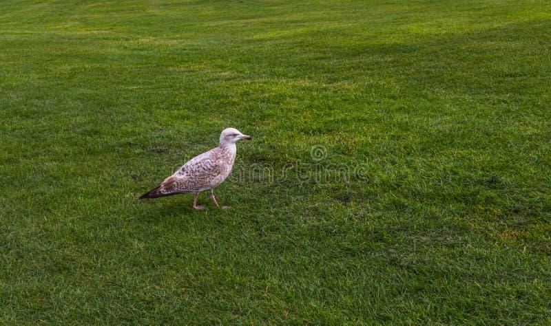 Mouette marchant le long de l'herbe verte luxuriante, beau Bi de bord de la mer photographie stock libre de droits