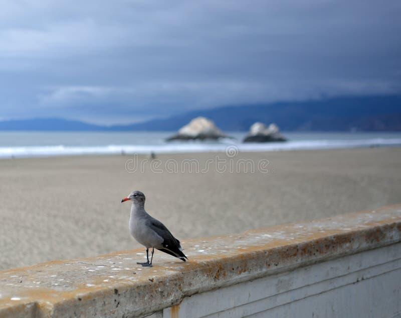 Mouette occidentale sur la plage de l'océan de San Francisco image libre de droits