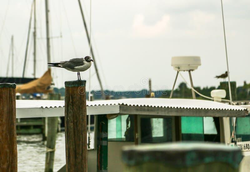 Mouette parmi des bateaux photographie stock libre de droits