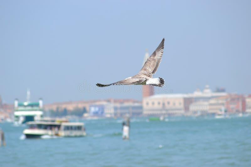 Mouette pilotant Venise photos stock