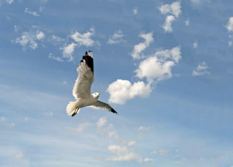 Mouette regardant en arrière tout en volant photographie stock libre de droits