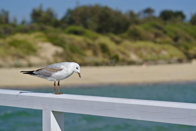 Mouette regardant vers le bas photographie stock libre de droits