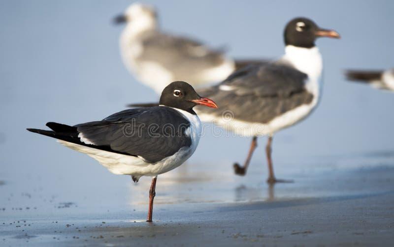Mouette riante, plage de Hilton Head Island, la Caroline du Sud photographie stock