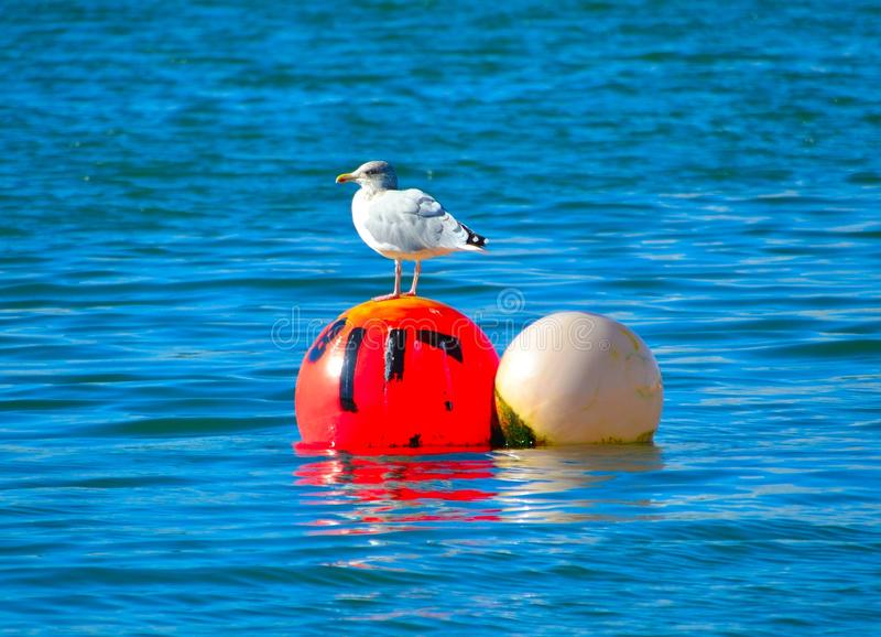 Mouette rouge de boule photo libre de droits