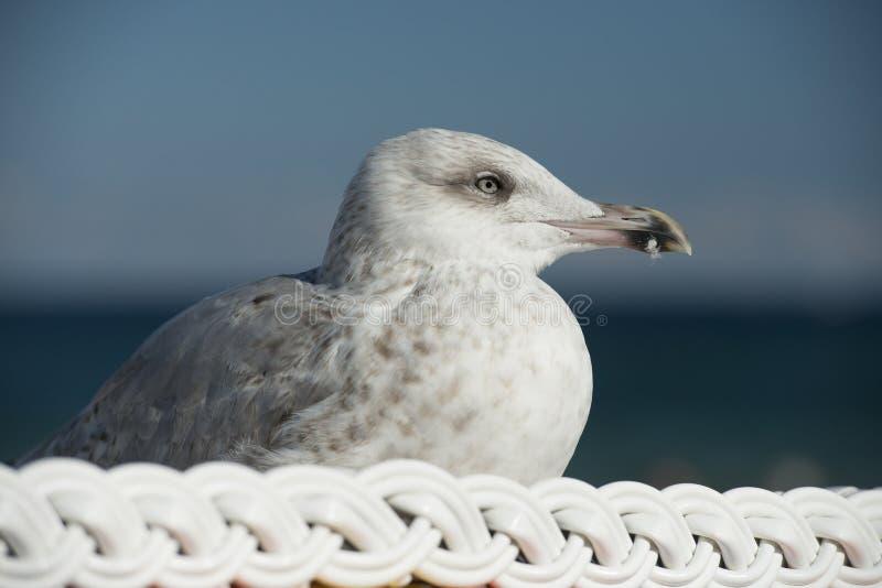 Mouette, se reposant sur une chaise de plage photographie stock