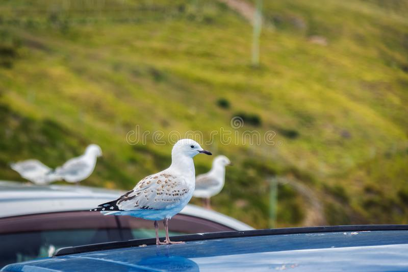 Mouette se tenant sur un toit de voiture au point de Harington, Nouvelle-Zélande photographie stock libre de droits