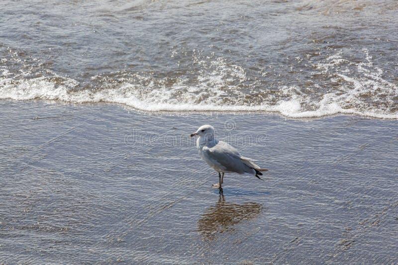 Mouette seule debout au bord de l'eau photo stock
