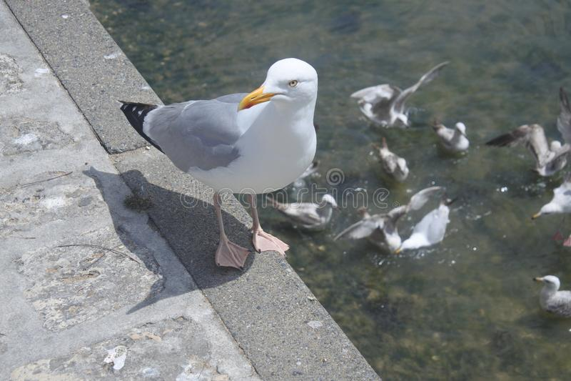 Mouette soigneuse dans un port maritime en France photos libres de droits