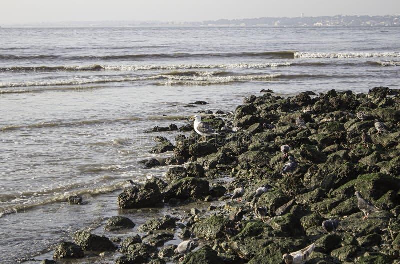 Download Mouette sur des roches image stock. Image du vacances - 77155655