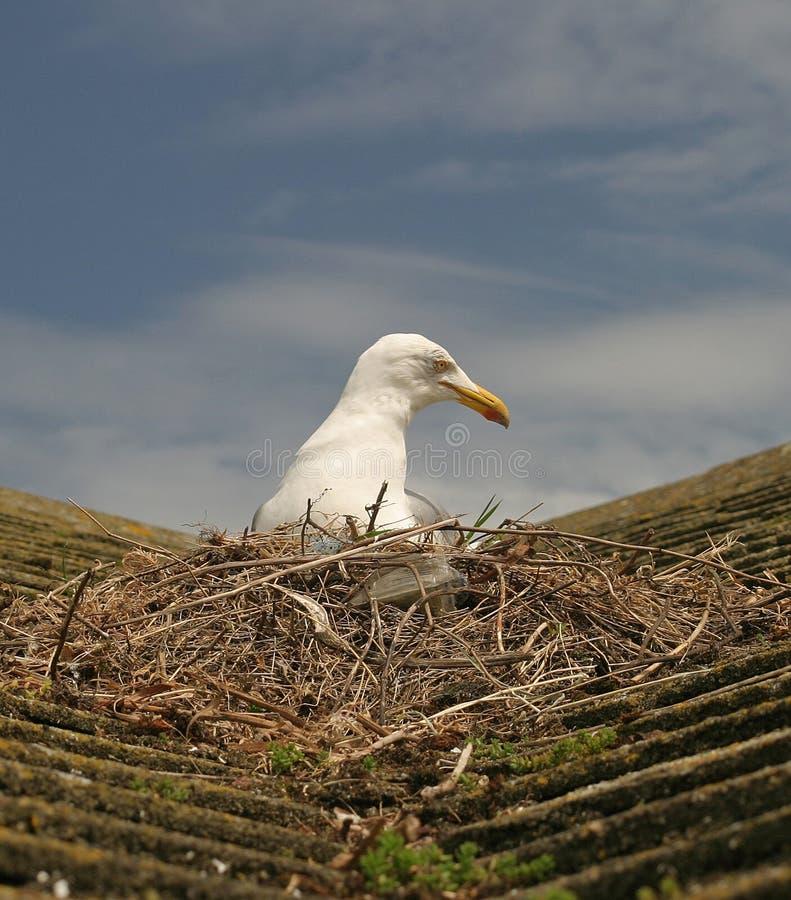Mouette sur l'emboîtement de toit photo libre de droits