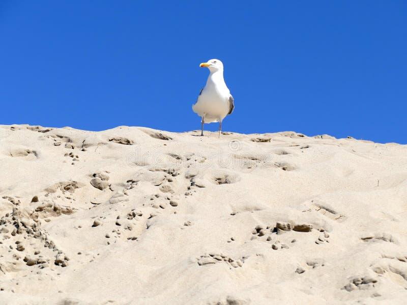 Mouette sur la dune de sable avec le ciel bleu photographie stock