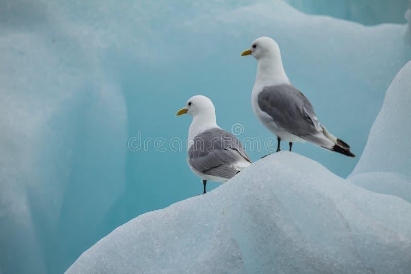 Mouette sur la glace dans l'Arctique photos libres de droits