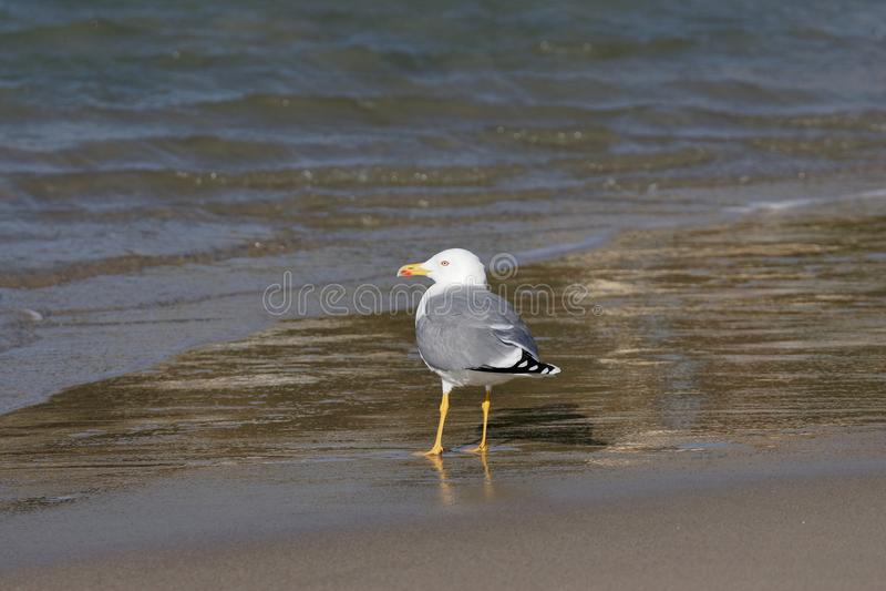 mouette sur la plage dans le spezia de La images libres de droits