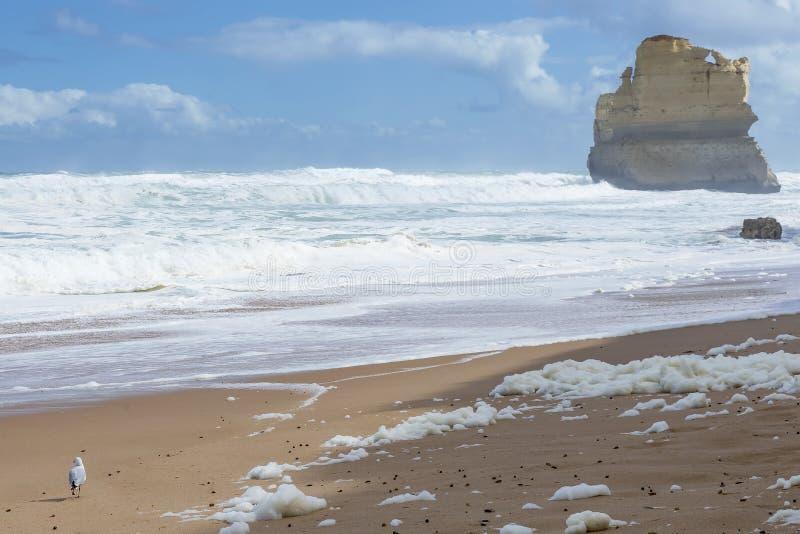 Mouette sur la plage de Gibson Steps, grande route d'océan, Victoria, Australie image stock