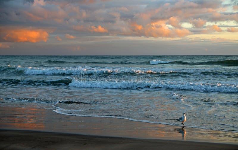 Mouette sur la plage de Waihi au lever de soleil photo libre de droits