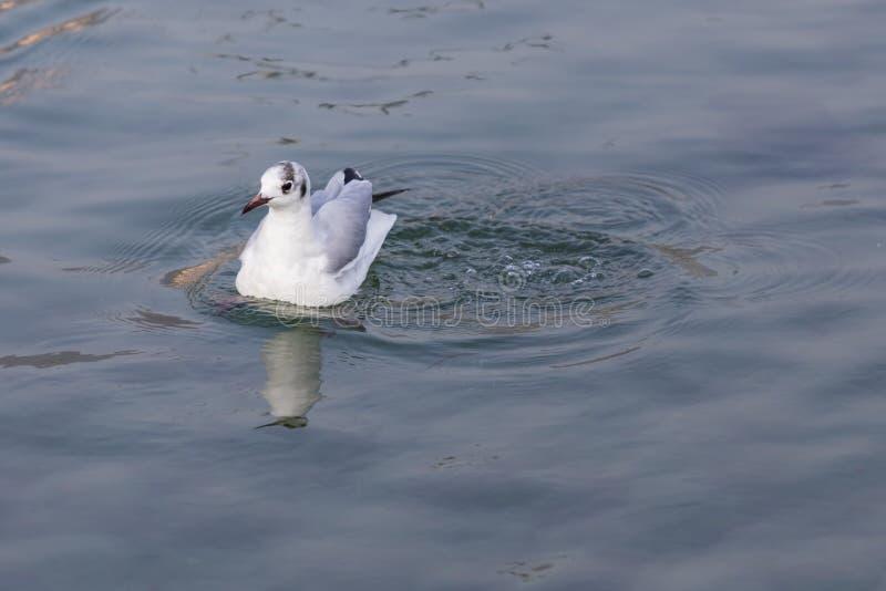 Mouette sur le lac photographie stock libre de droits
