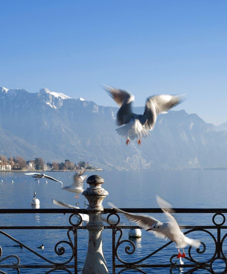 Mouette sur le lac geneva photos libres de droits