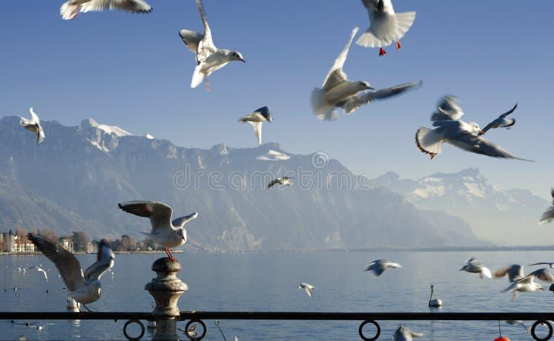 Mouette sur le lac suisse photo stock