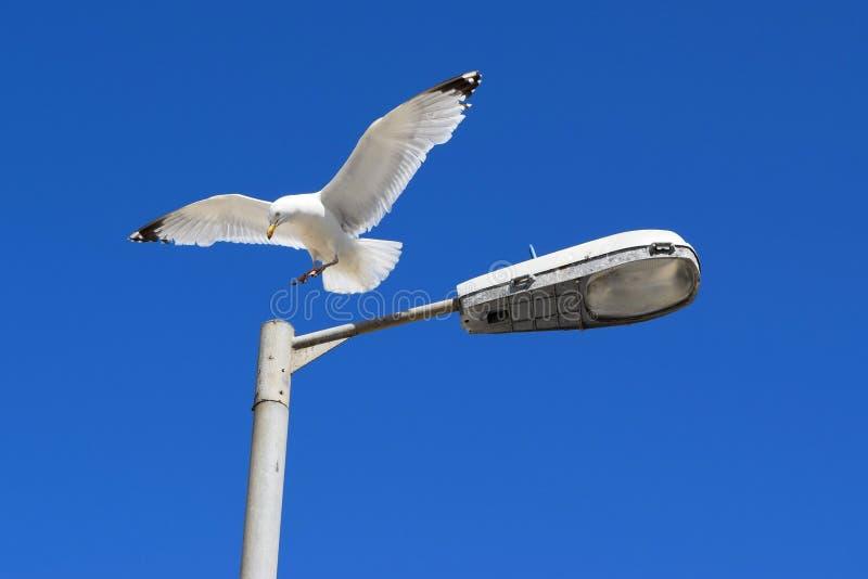 Mouette sur le lampadaire images libres de droits