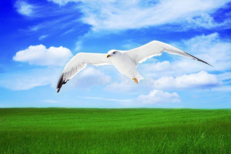Mouette sur un vol image libre de droits