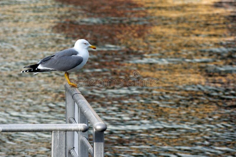 Mouette sur une balustrade à la mer photo stock