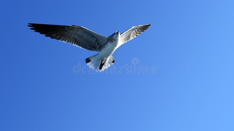 Mouette surfaçant au-dessus de la mer images libres de droits