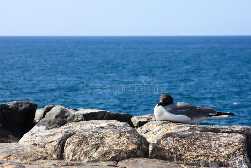 Mouette Swallow-Tailed dans Galapagos image libre de droits
