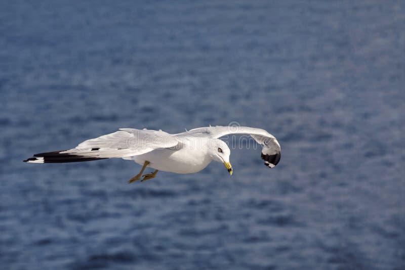 Mouette volant au-dessus de la mer photo stock