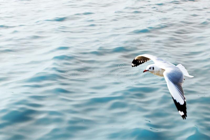 Mouette volant au-dessus de la mer bleue image stock