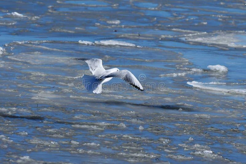 Mouette volant au-dessus de la mer du nord congelée photo stock