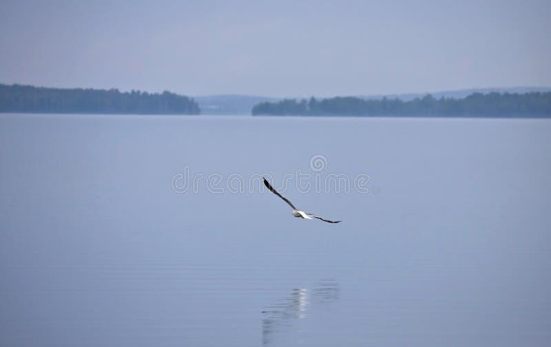 Mouette volant au-dessus du lac brumeux pendant le matin photo libre de droits
