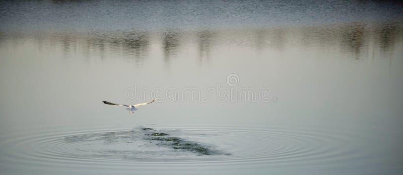 Mouette volant dessus au-dessus de l'eau images libres de droits