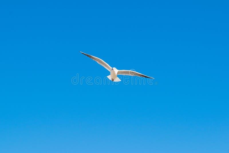 Mouette volant haut dans le ciel bleu photographie stock libre de droits