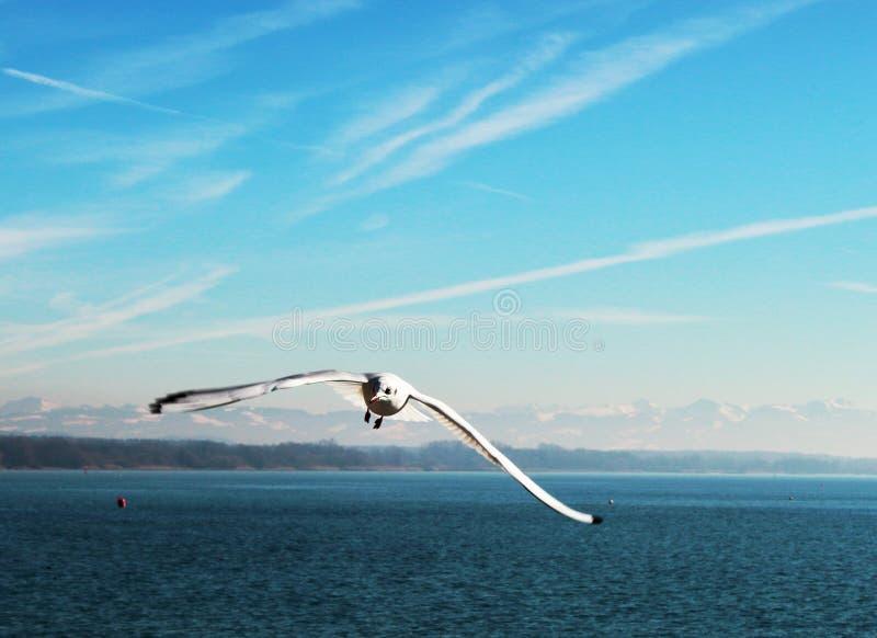 Mouette volante au-dessus de la surface bleue du lac sur le fond des montagnes couronnées de neige et du ciel bleu la journée de  image libre de droits
