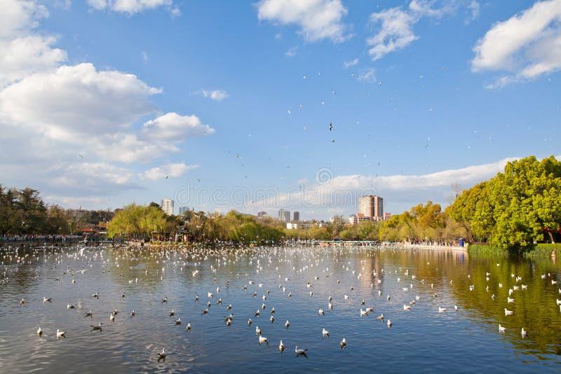 Mouettes à tête noire volant sur le lac photos stock