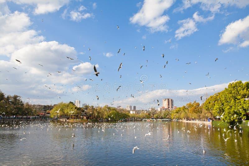 Mouettes à tête noire volant sur le lac image stock