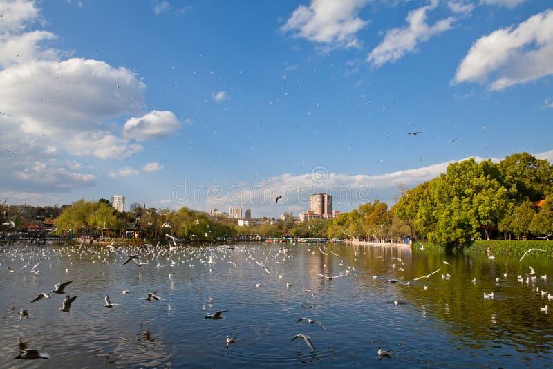 Mouettes à tête noire volant sur le lac photo libre de droits