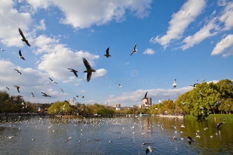 Mouettes à tête noire volant sur le lac image libre de droits