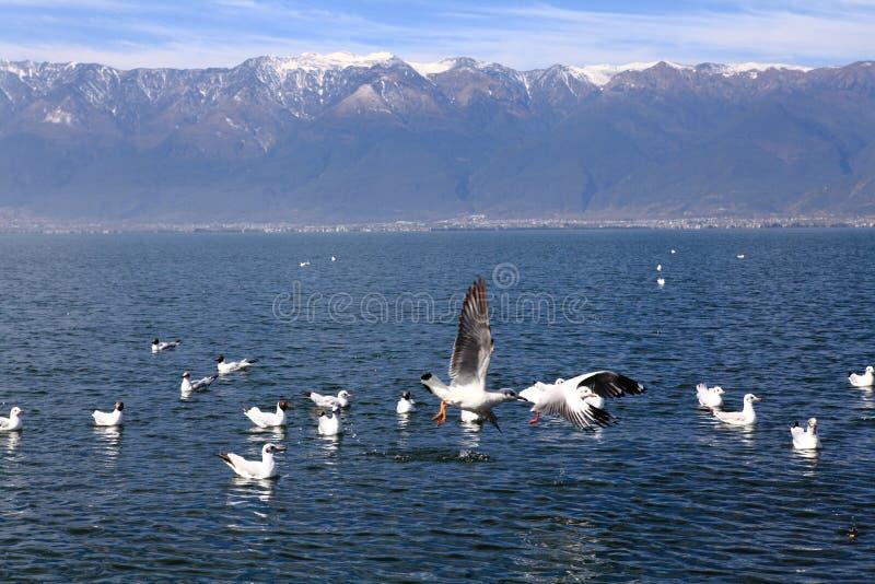 Mouettes à tête noire volant sur le lac images libres de droits