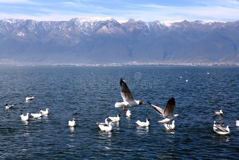 Mouettes à tête noire volant sur le lac photo stock