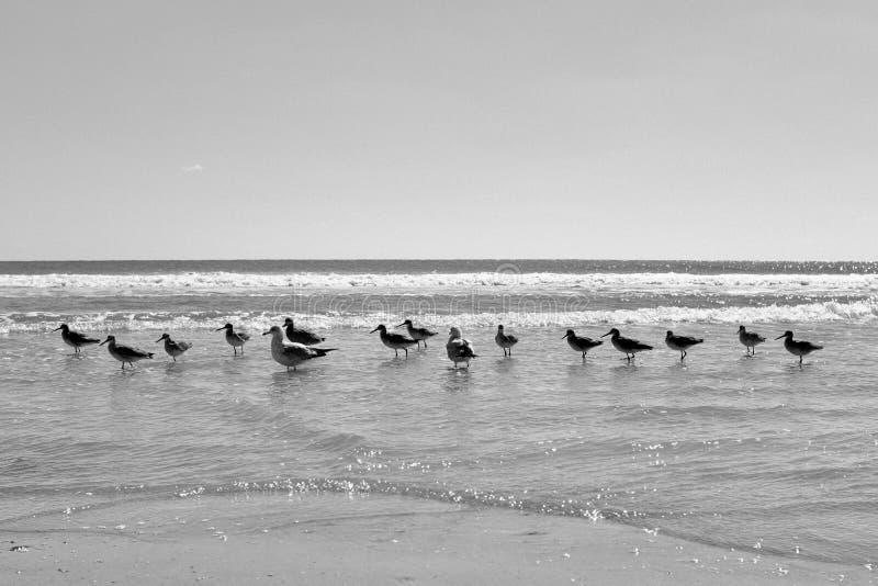 Mouettes au bord de la mer marchant dans le ressac photos stock