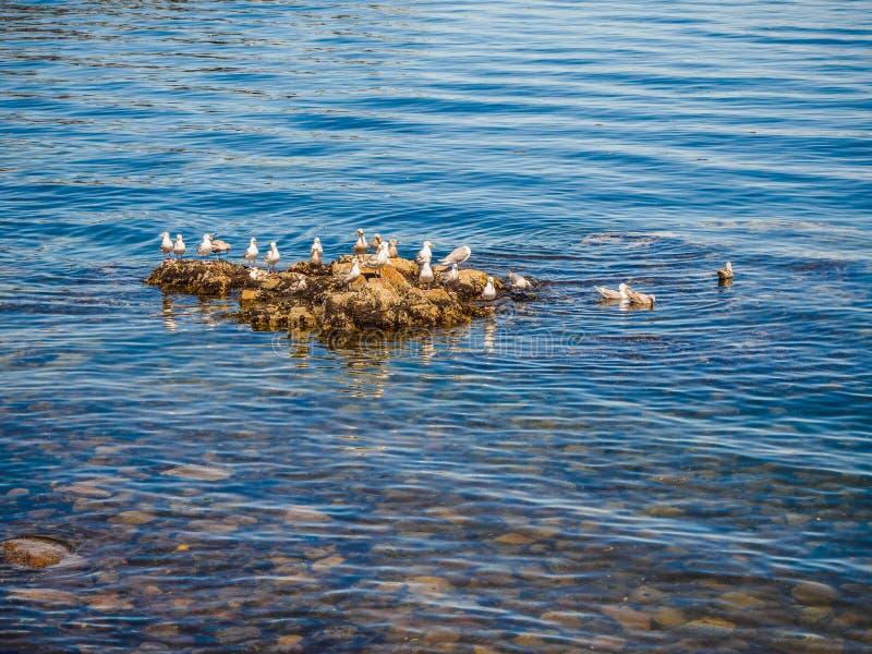 Mouettes au rivage rocheux de Sidney AVANT JÉSUS CHRIST, Canada photo libre de droits