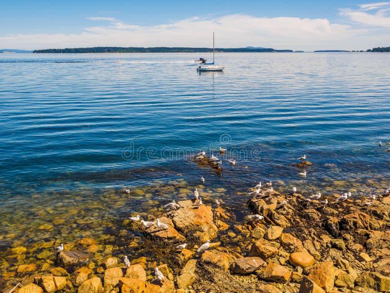 Mouettes au rivage rocheux de Sidney AVANT JÉSUS CHRIST, Canada photo stock