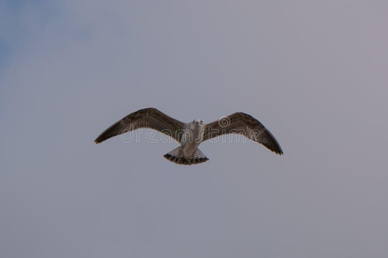Mouettes d'harengs juvéniles/argentatus de mouette/Larus dans le mi vol au Portugal du nord image libre de droits