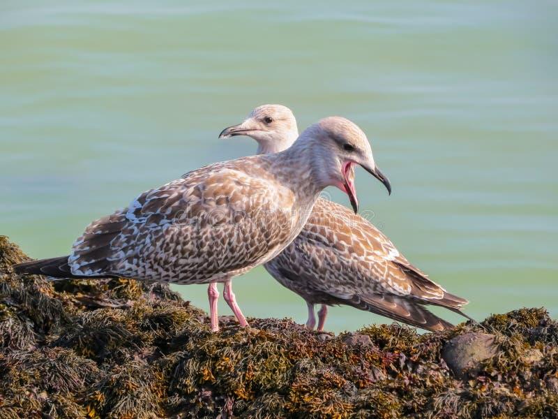Mouettes d'harengs juvéniles sur des roches de l'île de débardeur photo libre de droits