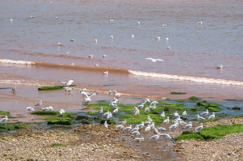 Mouettes dans Sidmouth images libres de droits