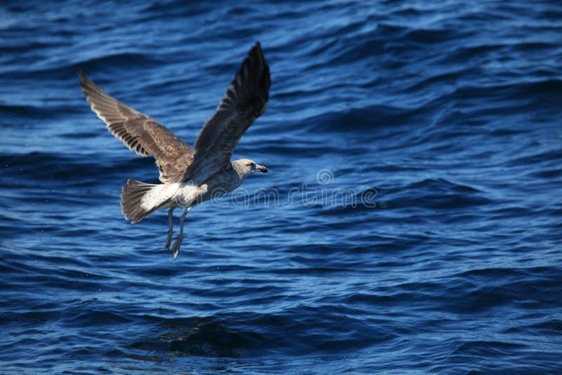 Mouettes de Puerto Madryn en Argentine photos stock
