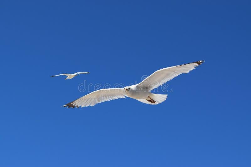 Mouettes de vol photo libre de droits