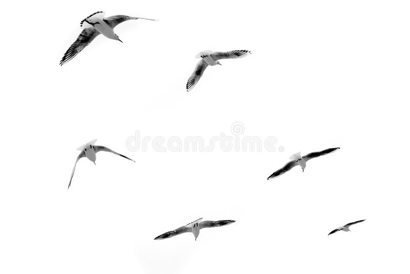 Mouettes en vol photo libre de droits