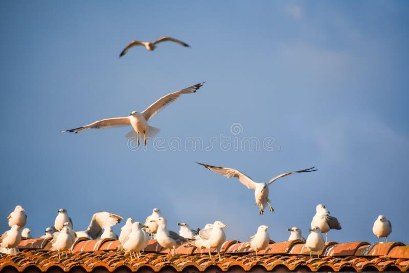 Mouettes en vol et assis sur le toit image libre de droits